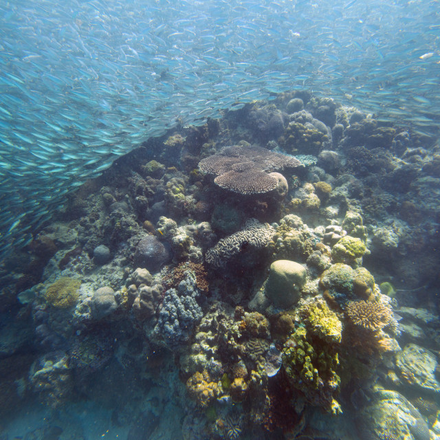 """Shoal of sardines, Panagsama Beach, Moalboal, Cebu, The Visayas, Philippines,..."" stock image"