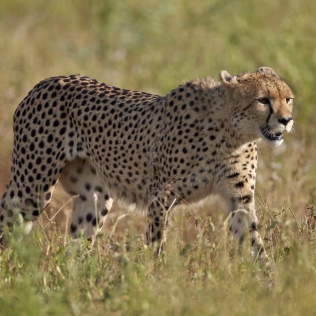 """Cheetah (Acinonyx jubatus), Kruger National Park, South Africa, Africa"" stock image"