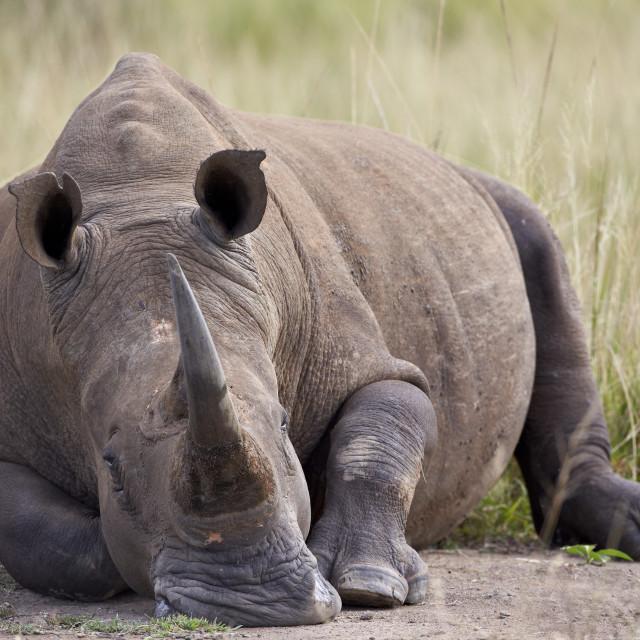 """White rhinoceros (Ceratotherium simum), Hluhluwe Game Reserve, South Africa,..."" stock image"