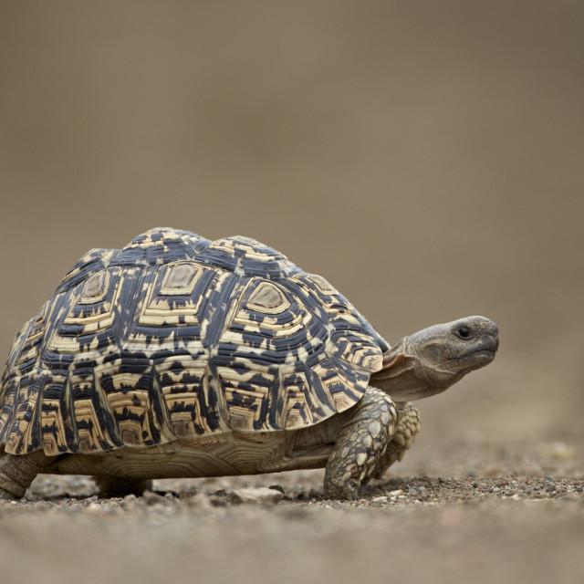 """Leopard Tortoise (Geochelone pardalis), Kruger National Park, South Africa,..."" stock image"
