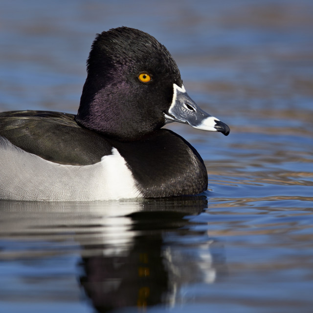 """Ring-necked duck (Aythya collaris) swimming, Clark County, Nevada, United..."" stock image"