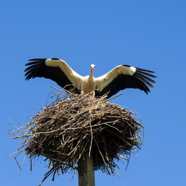 """Stork and nest (Ciconia ciconia), Varska, Estonia, Baltic States, Europe"" stock image"