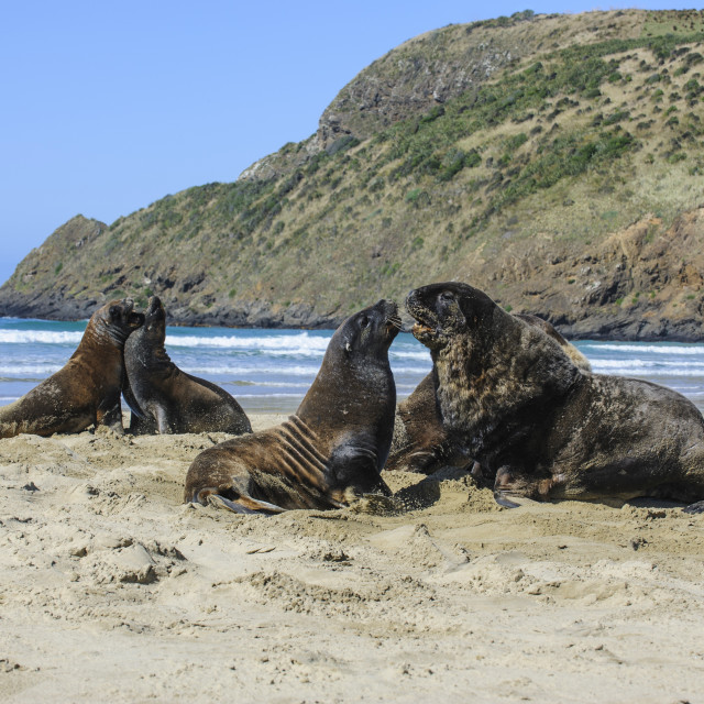 """""""Hooker's Sea Lions (Phocarctos hookeri) colony, Cannibal bay, the Catlins,..."""" stock image"""