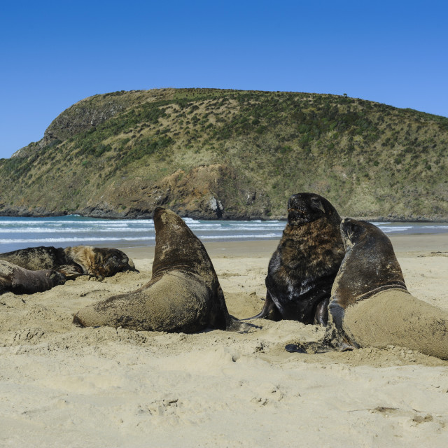"""""""Hooker's Sea Lions (Phocarctos hookeri, ) colony, Cannibal bay, the Catlins,..."""" stock image"""