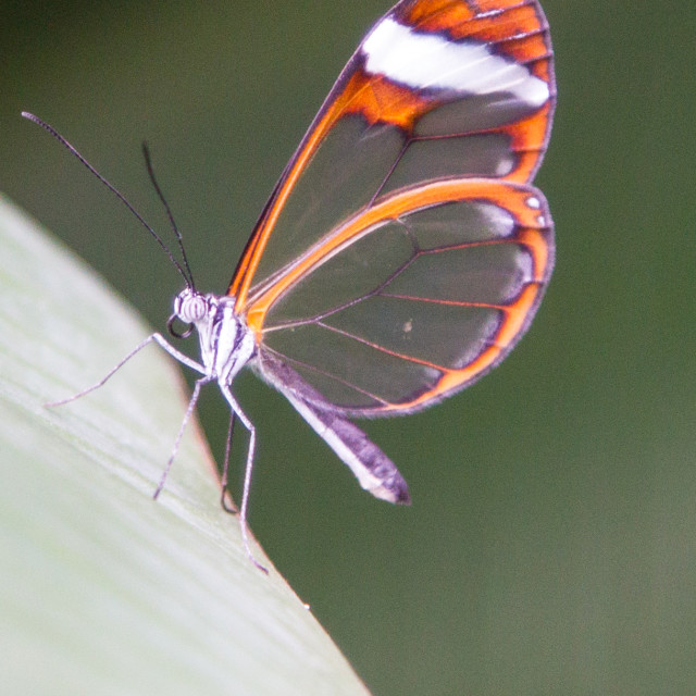 """a glasswing butterfly"" stock image"