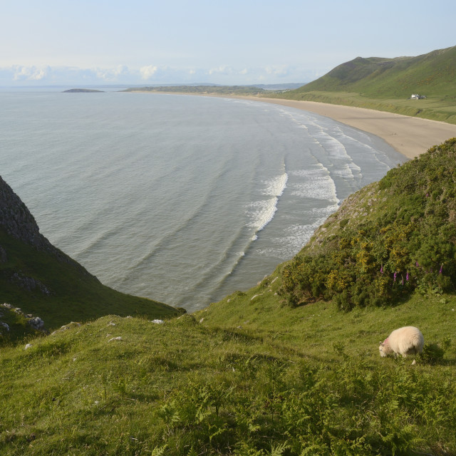"""Sheep (Ovis aries) grazing cliff-top pastureland with Rhossili Bay beach in..."" stock image"