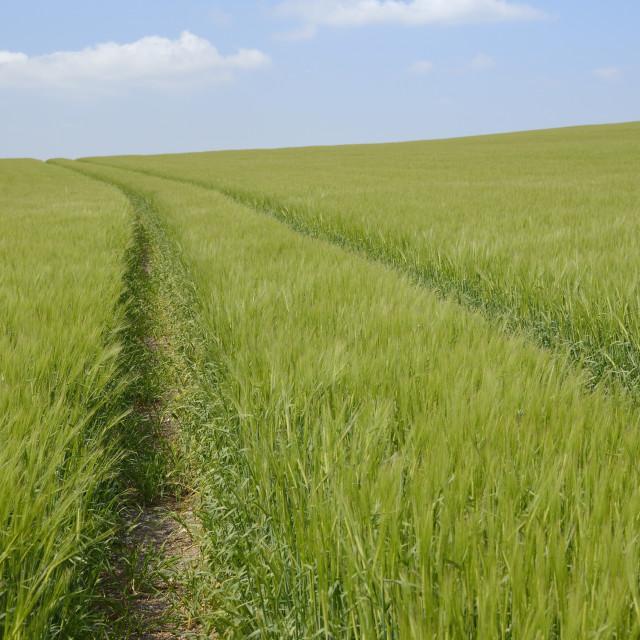 """Vehicle tracks through a field of barley (Hordeum vulgare), Marlborough..."" stock image"