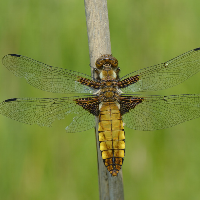 """""""Female broad bodied chaser dragonfly (Libellula depressa) with one damaged..."""" stock image"""