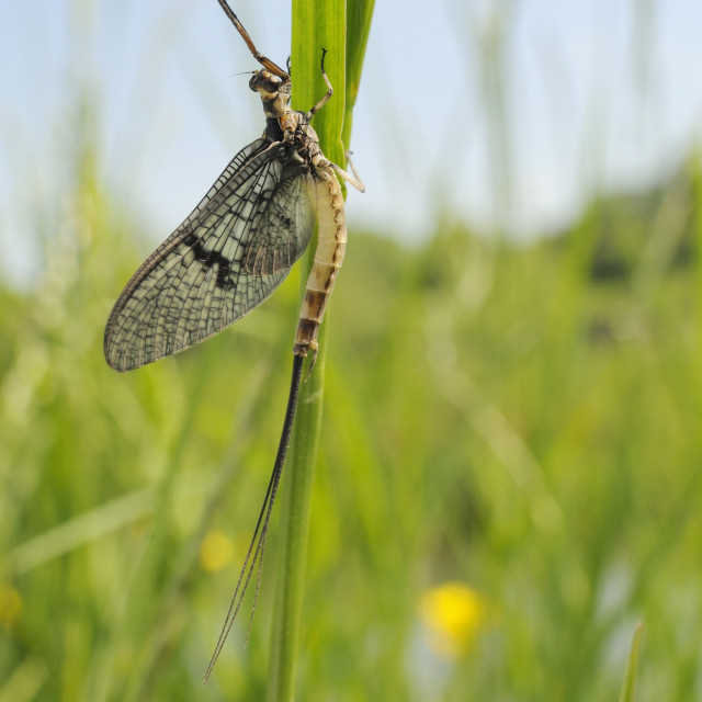 """Green drake mayfly (Ephemera danica) newly emerged on a riverside grass stem,..."" stock image"