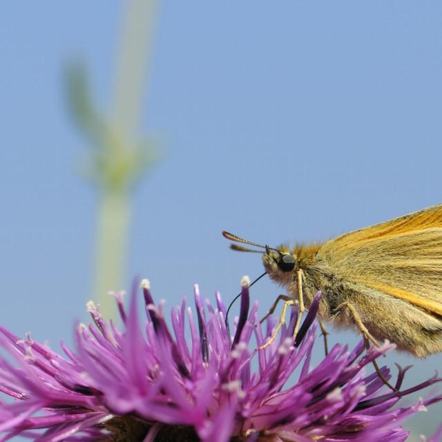 """Small skipper (Thymelicus sylvestris) nectaring on greater knapweed flower..."" stock image"