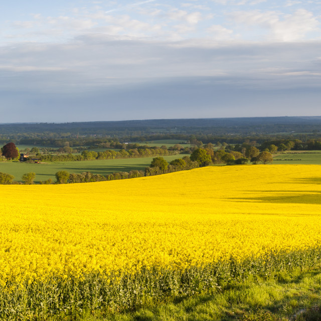 """Rape field, Guildford, Surrey, England, United Kingdom, Europe"" stock image"