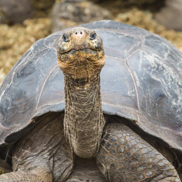 """Captive Galapagos giant tortoise (Chelonoidis nigra) at the Charles Darwin..."" stock image"