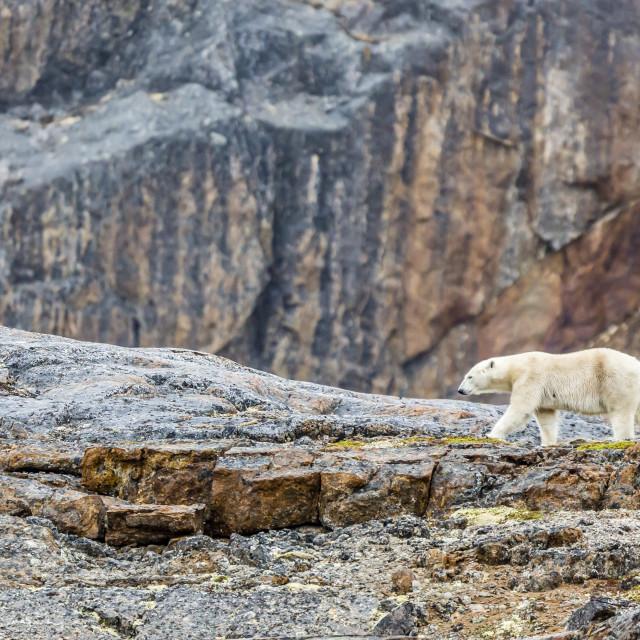 """Adult polar bear (Ursus maritimus) in the mist in the Savage Islands,..."" stock image"