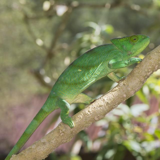 """Parson's chameleon (Calumma parsonii), Madagascar, Africa"" stock image"