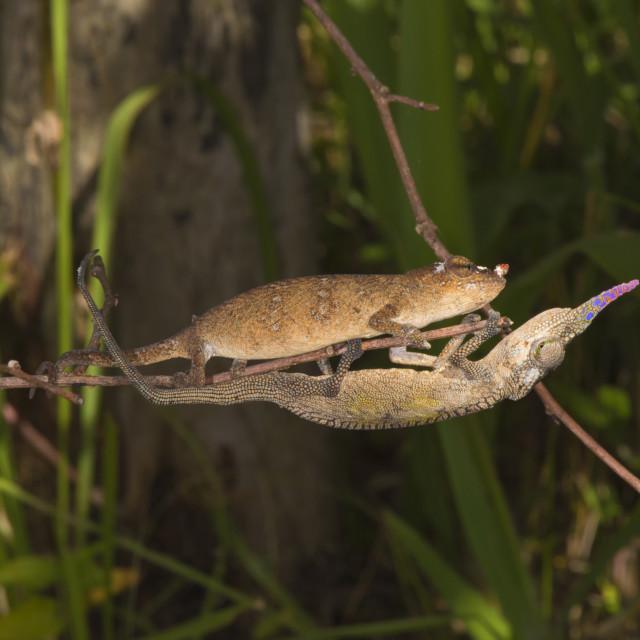 """""""Couple of Blade chameleons (Calumma gallus), Madagascar, Africa"""" stock image"""