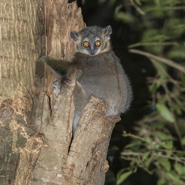 """White-footed Sportive Lemur (Lepilemur leucopus), Berenty Nature Reserve,..."" stock image"