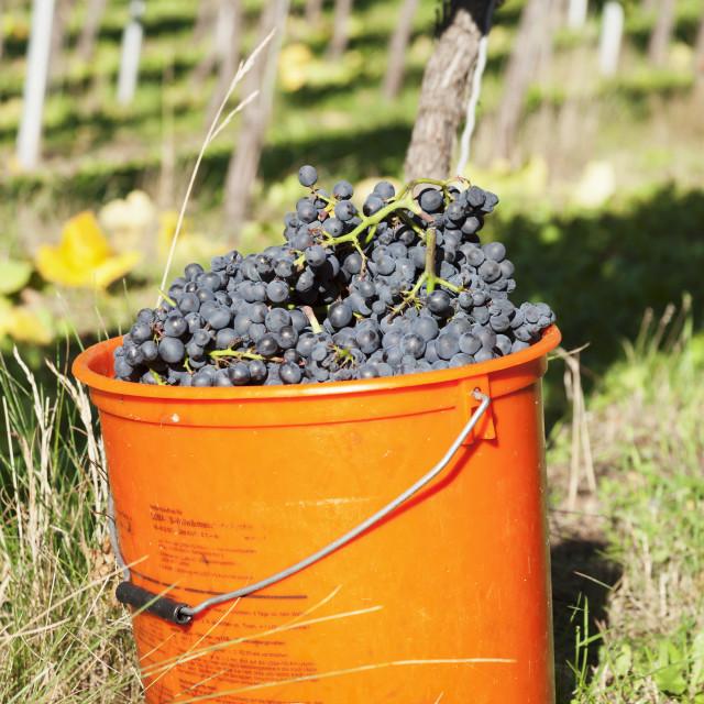 """Bucket of wine grapes, Grape Harvest, Esslingen, Baden Wurttemberg, Germany"" stock image"