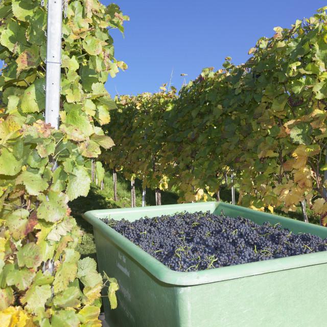 """""""Grape harvest, Esslingen, Baden Wurttemberg, Germany, Europe"""" stock image"""