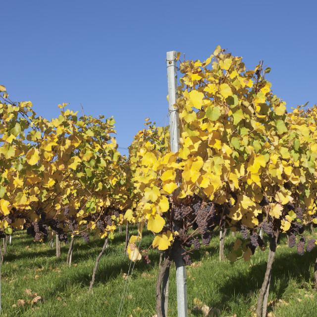 """Vineyards in autumn, Esslingen, Baden Wurttemberg, Germany, Europe"" stock image"