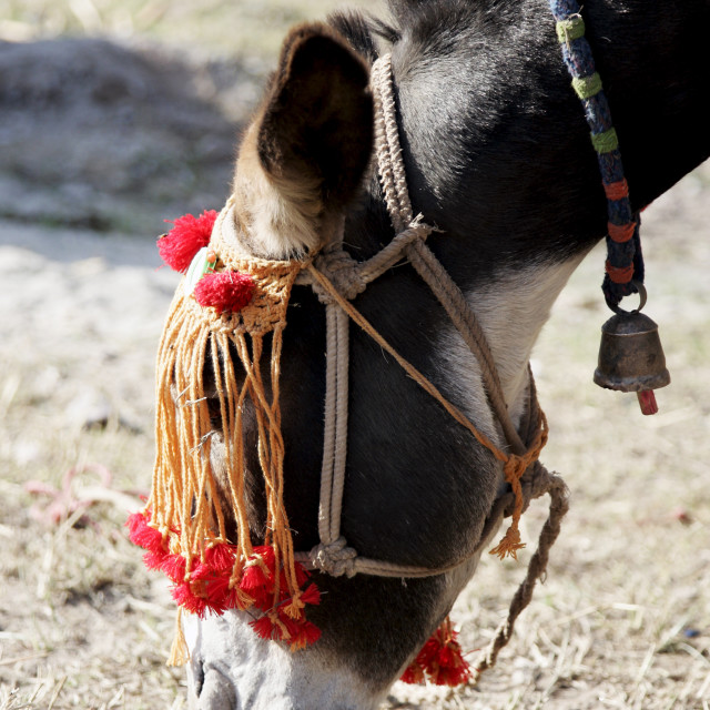 """Donkey from Brooke Hospital for Animals charity grazes in village of Pattika,..."" stock image"
