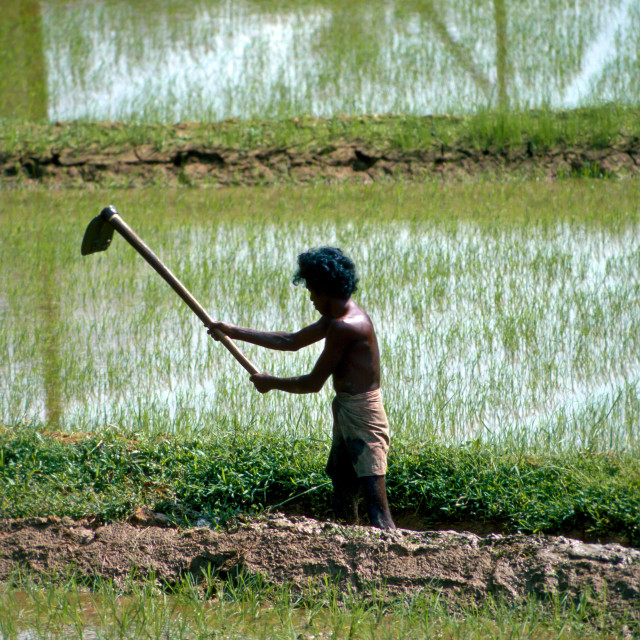 """A man working in the paddy fields near Kandy, Sri Lanka"" stock image"