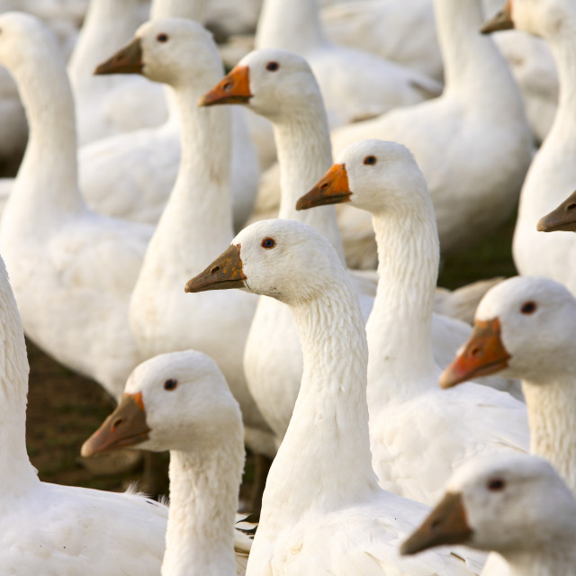 """Geese farm, Oxfordshire, United Kingdom. Free-range birds may be at risk if..."" stock image"
