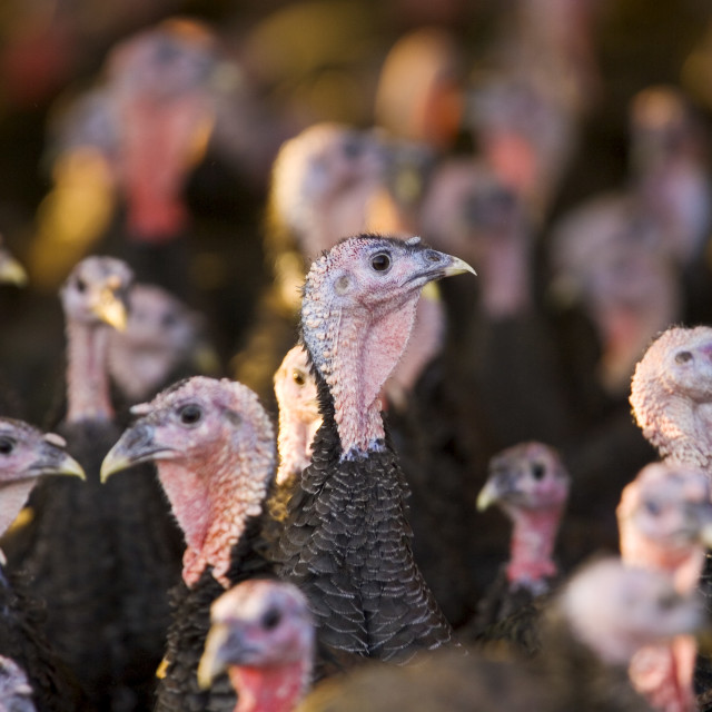 """Free-range Norfolk bronze turkeys return to their barn after roaming at..."" stock image"
