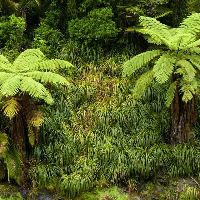 """Ferns, North Island, New Zealand"" stock image"