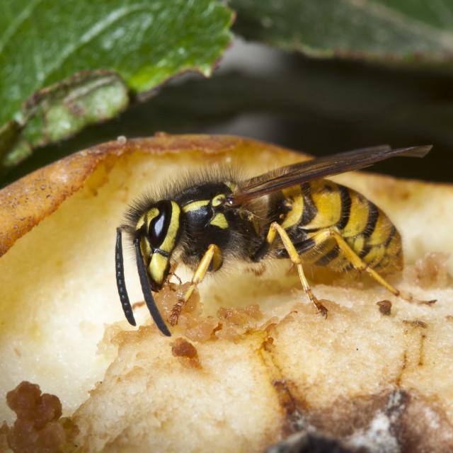 """Common wasp yellow jacket, vespula vulgaris, feeding from eating apple on..."" stock image"