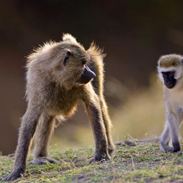 """Olive Baboon glaring at Vervet Monkey (Green Monkey), Grumeti, Tanzania"" stock image"