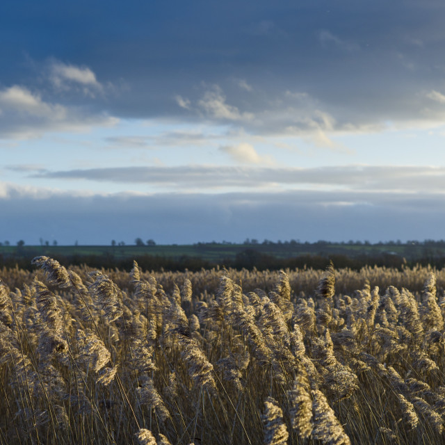 """Marsh grasses and reeds in the Avalon Marshes wetlands of the Somerset Levels..."" stock image"