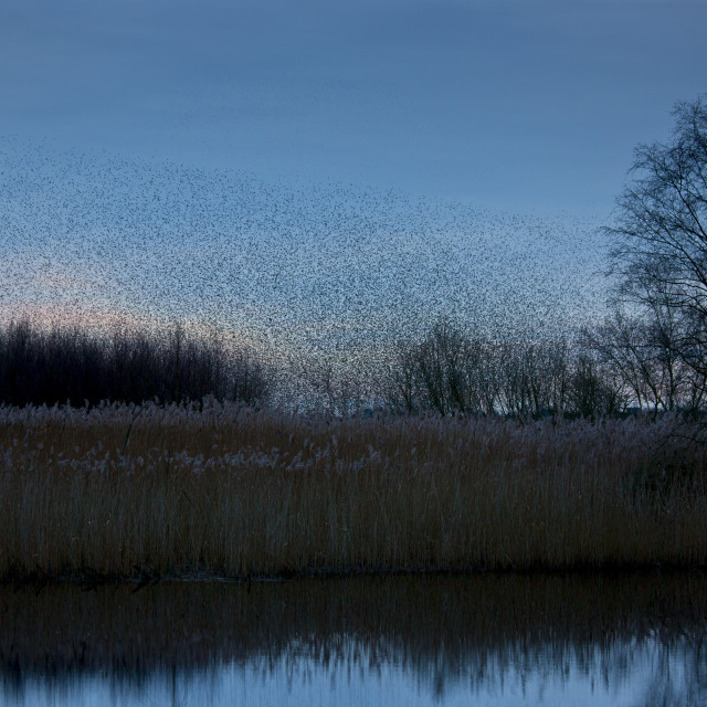 """A murmuration of starlings, numbering well over a million birds, gather as a..."" stock image"