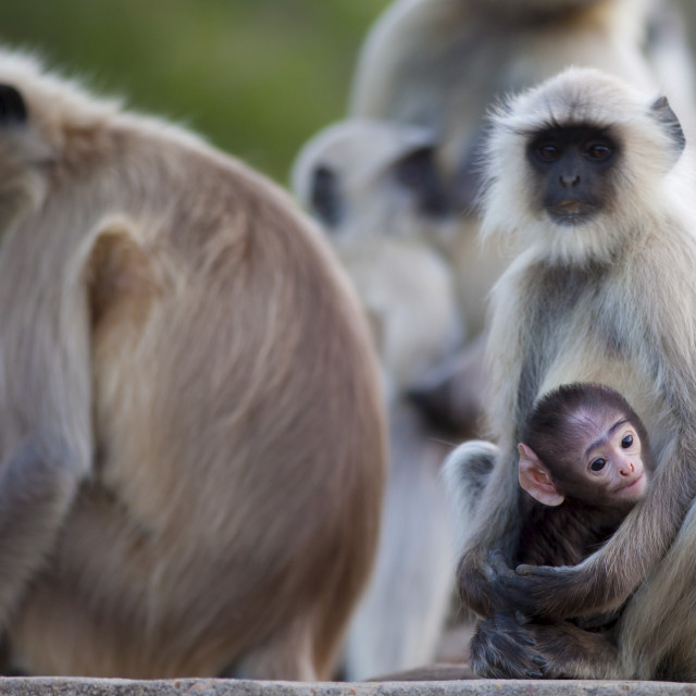 """Indian Langur monkeys, Presbytis entellus, in Ranthambore National Park,..."" stock image"