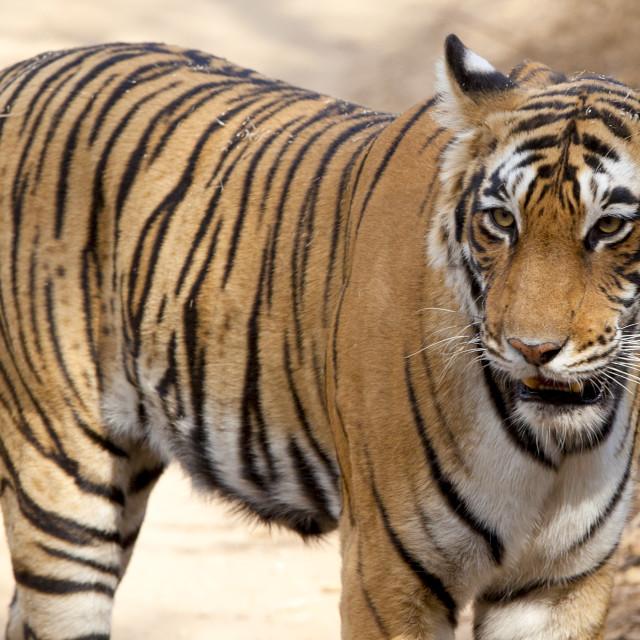 """""""Female Bengal tiger, Panthera tigris tigris, in Ranthambore National Park,..."""" stock image"""