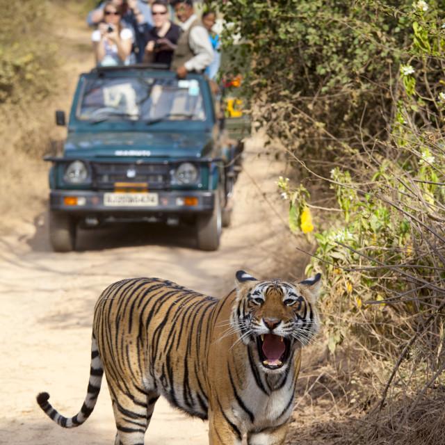 """""""Tourists watch female Bengal tiger, Panthera tigris tigris, in Ranthambore..."""" stock image"""