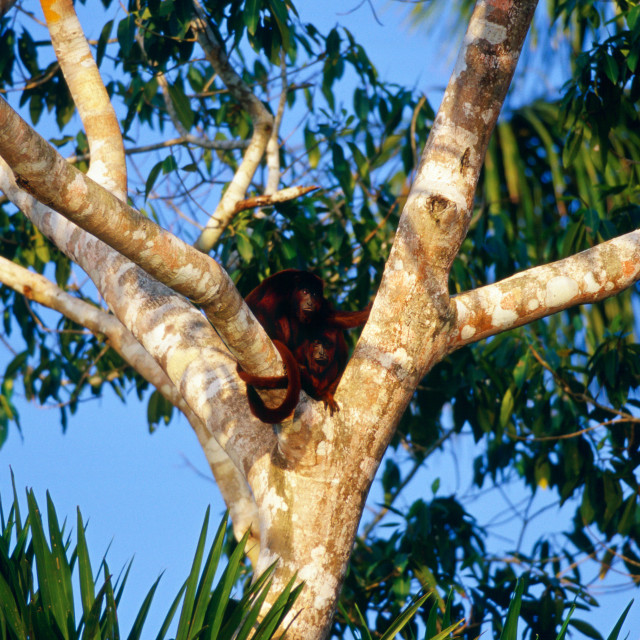 """Red Howler monkeys in the fork of a tree at Lake Sandoval , Peruvian..."" stock image"