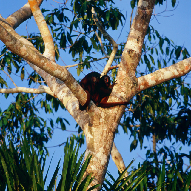 """Red Howler monkeys in the fork of a tree at Lake Sandoval, Peruvian..."" stock image"