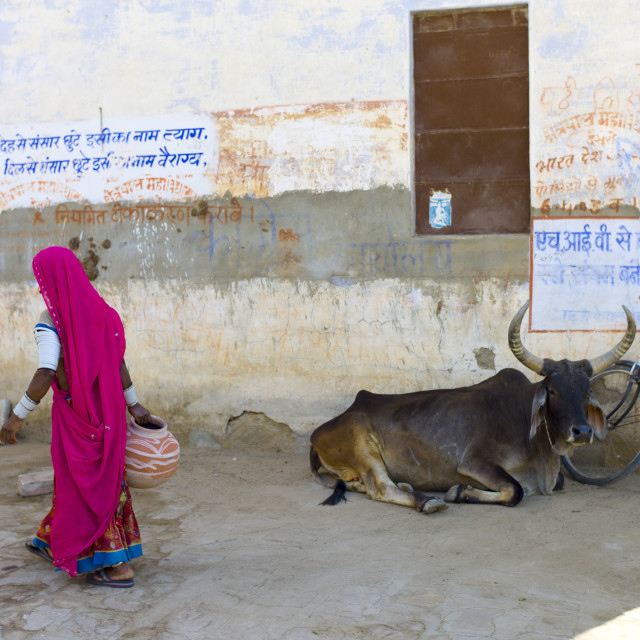 """""""Indian woman carrying water pot past a bull lying by Hindu Temple in Narlai..."""" stock image"""