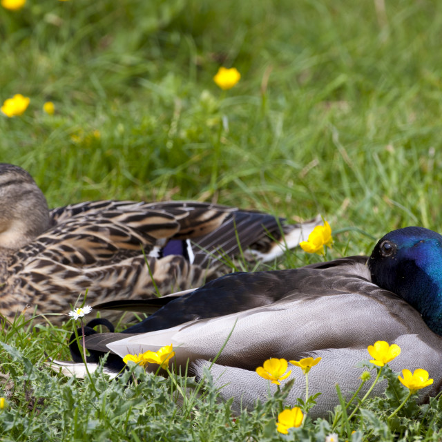 """""""Male mallard drake and female duck pair sleeping in meadow, The Cotswolds,..."""" stock image"""