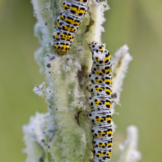"""Mullein Shargacucullia verbasci moth caterpillars feeding on wild poppy plant..."" stock image"