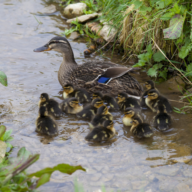 """Female mallard duck with newly hatched ducklings, Anas platyrhynchos, on a..."" stock image"