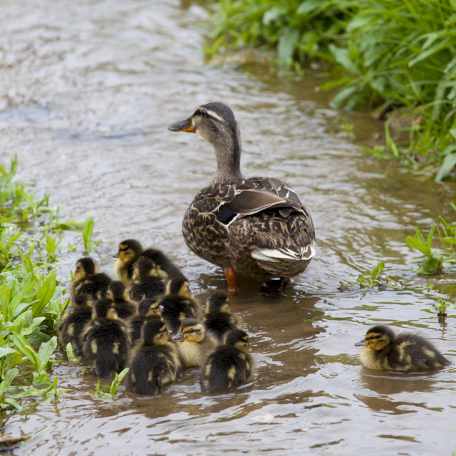 """Female mallard duck with 14 newly hatched ducklings, Anas platyrhynchos, on a..."" stock image"
