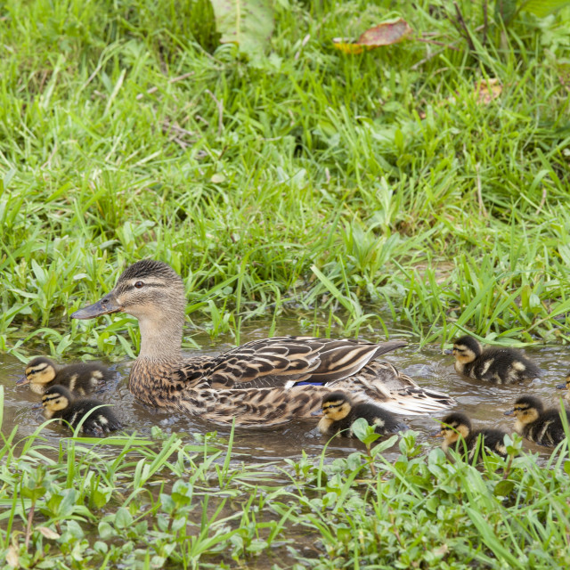 """Female mallard duck with new ducklings, Anas platyrhynchos, on a stream in..."" stock image"