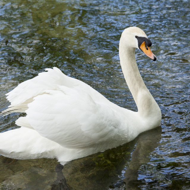 """""""Male mute swan, Cygnus olor, known as a cob, in Southrop in the Cotswolds,..."""" stock image"""
