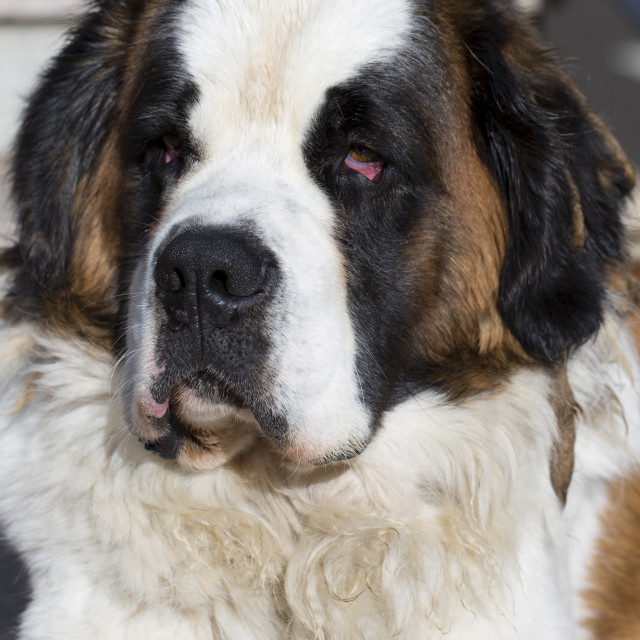 """""""St Bernard rescue dog in the Spanish Pyrenees mountain, Northern Spain"""" stock image"""