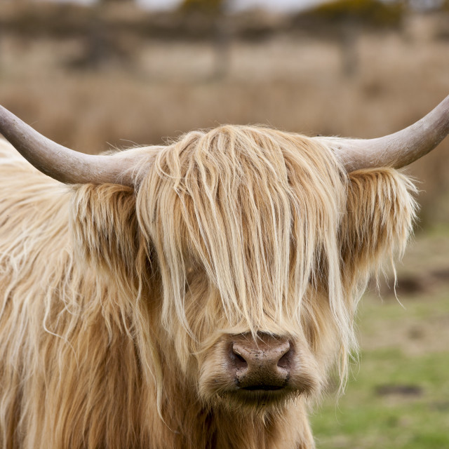 """Blonde shaggy coated Highland cow with curved horns on Bodmin Moor, Cornwall"" stock image"