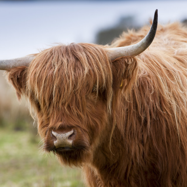 """Brown shaggy coated Highland cow with curved horns on Bodmin Moor, Cornwall"" stock image"