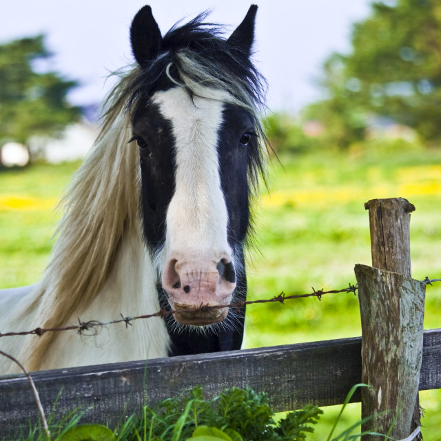 """Traditional Irish piebald paint horse in buttercup meadow near Kilmore, Ireland"" stock image"