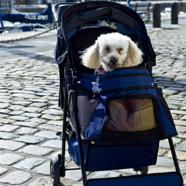"""Traditional French poodle pampered pet in baby stroller by the harbour at St..."" stock image"