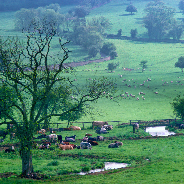 """""""Cattle on Cotswold Farmland in Rural England, UK"""" stock image"""